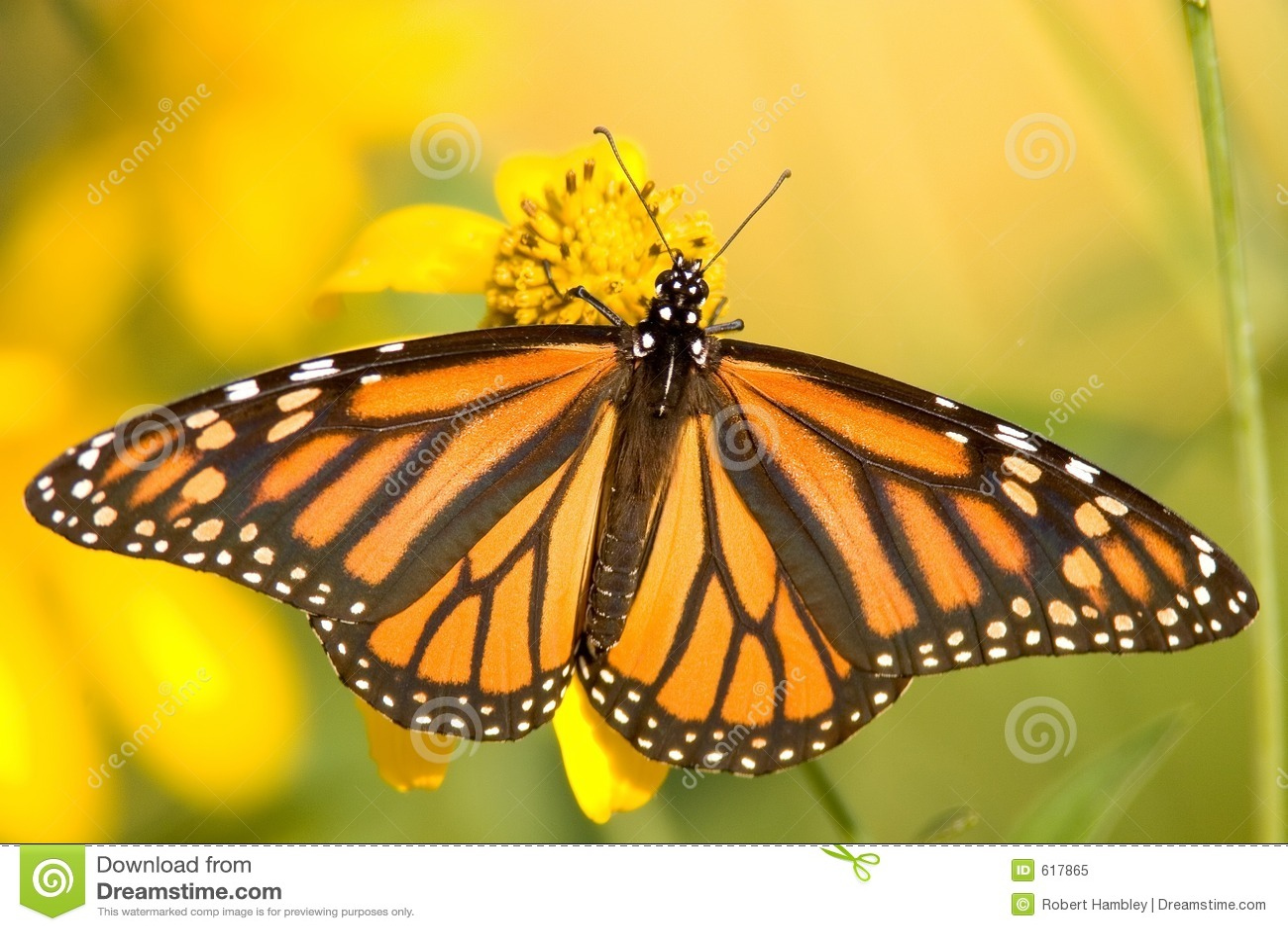 De Vlinder van de monarch - plexippus Danaus