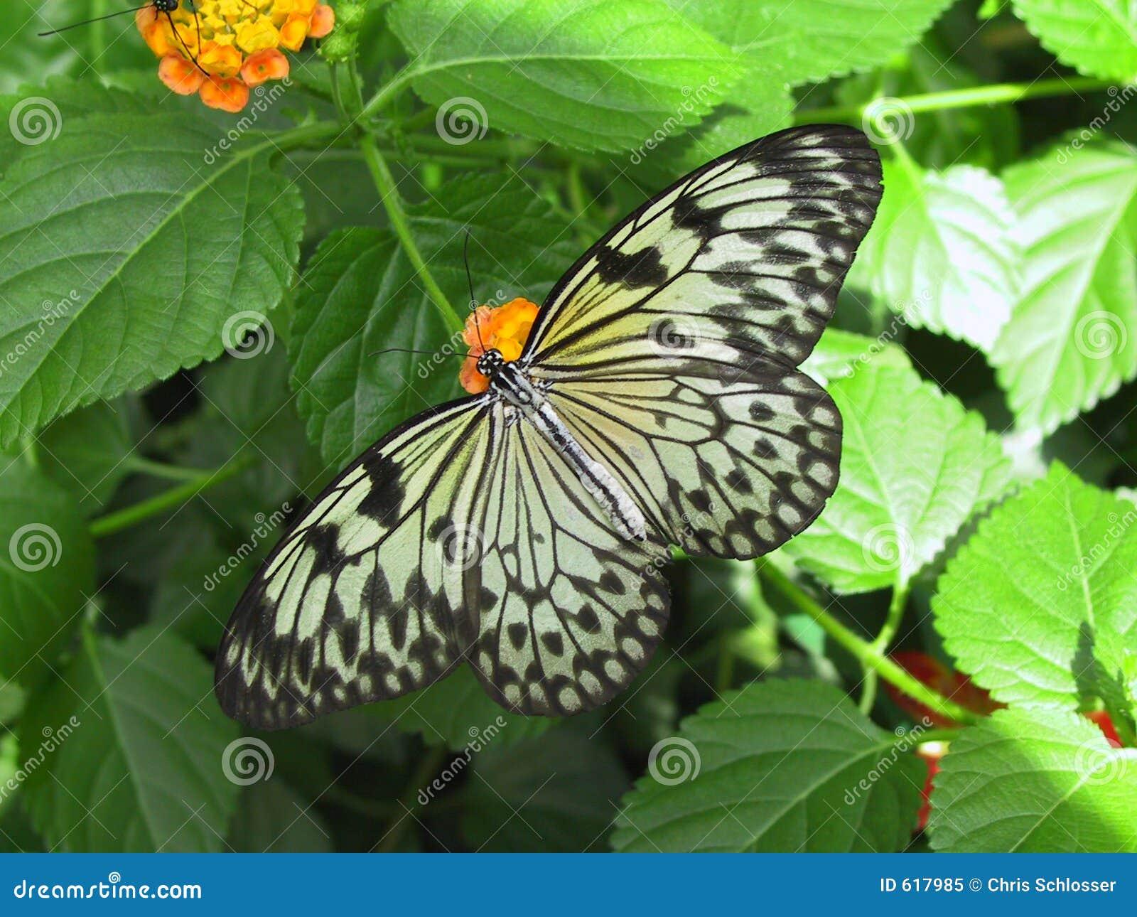 De Vlinder van de Nimf van de boom