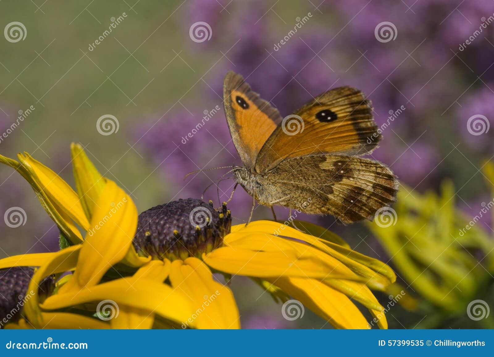 De Vlinder van de portier (tithonus Pyronia)
