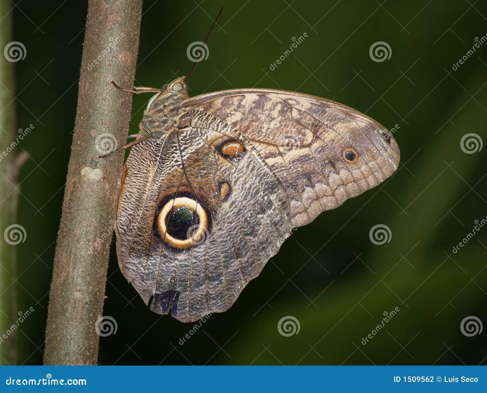 De Vlinder van de uil