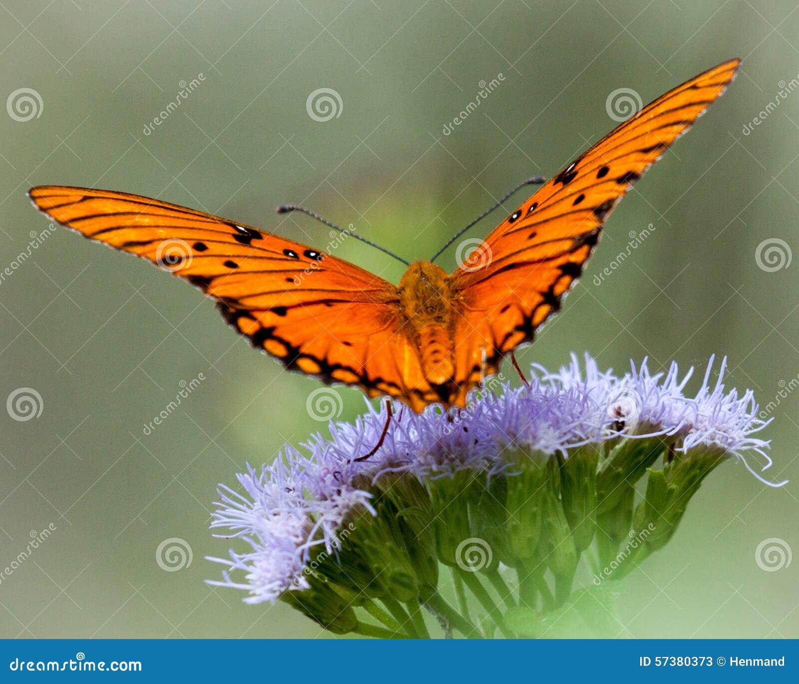 De Vlinder van golffritillary op Wildflower