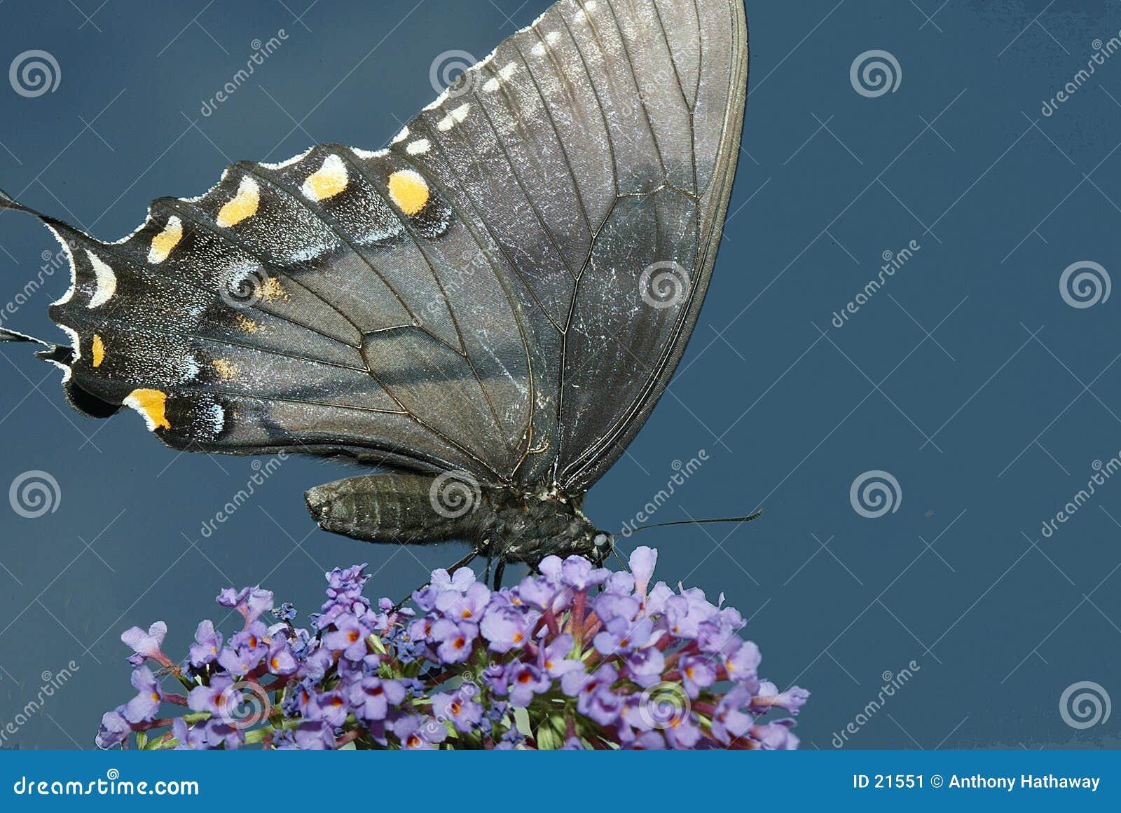 De Vlinder van Swallowtail