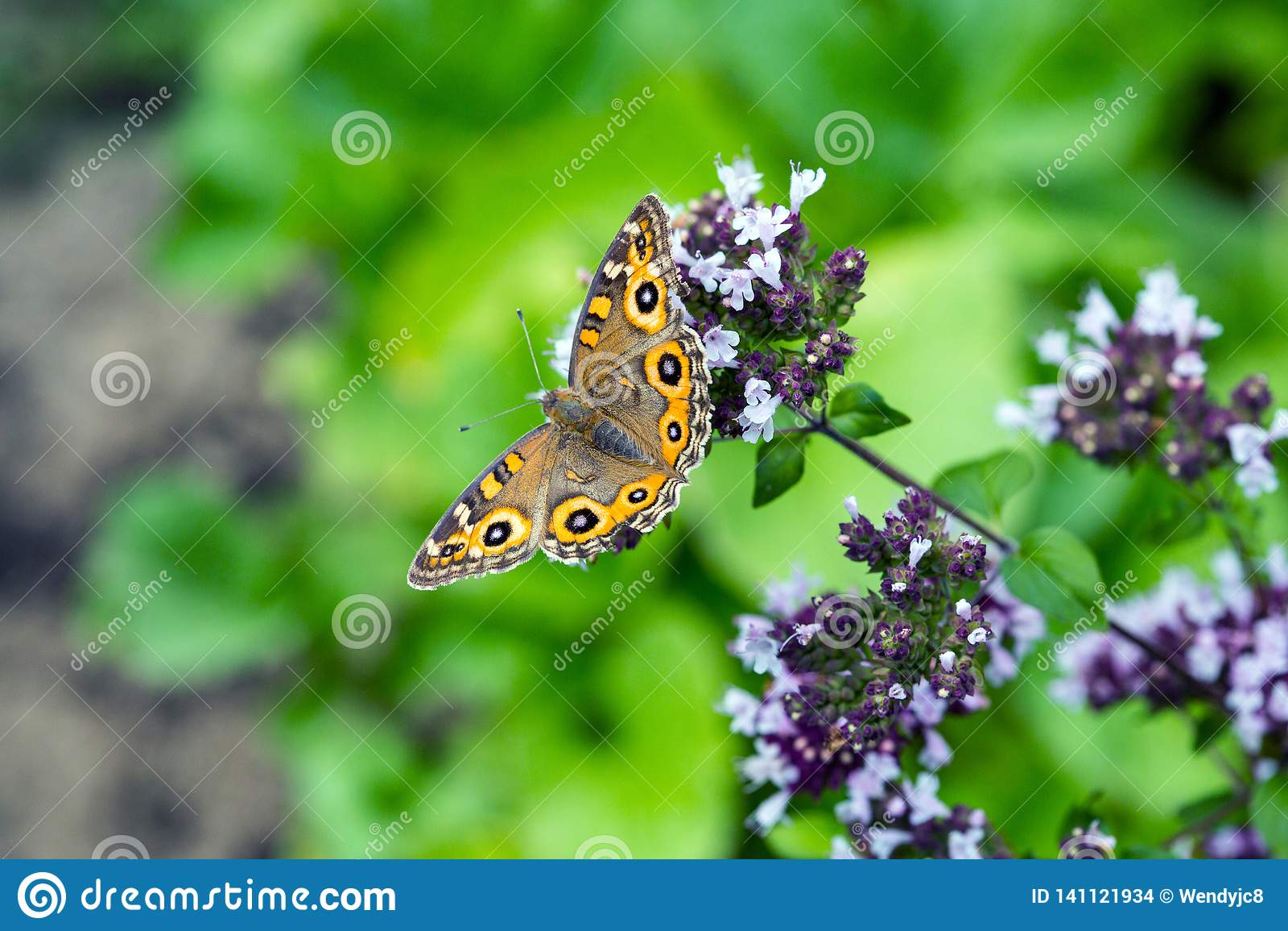 De Vlinder van weideargus op bloeiende orego