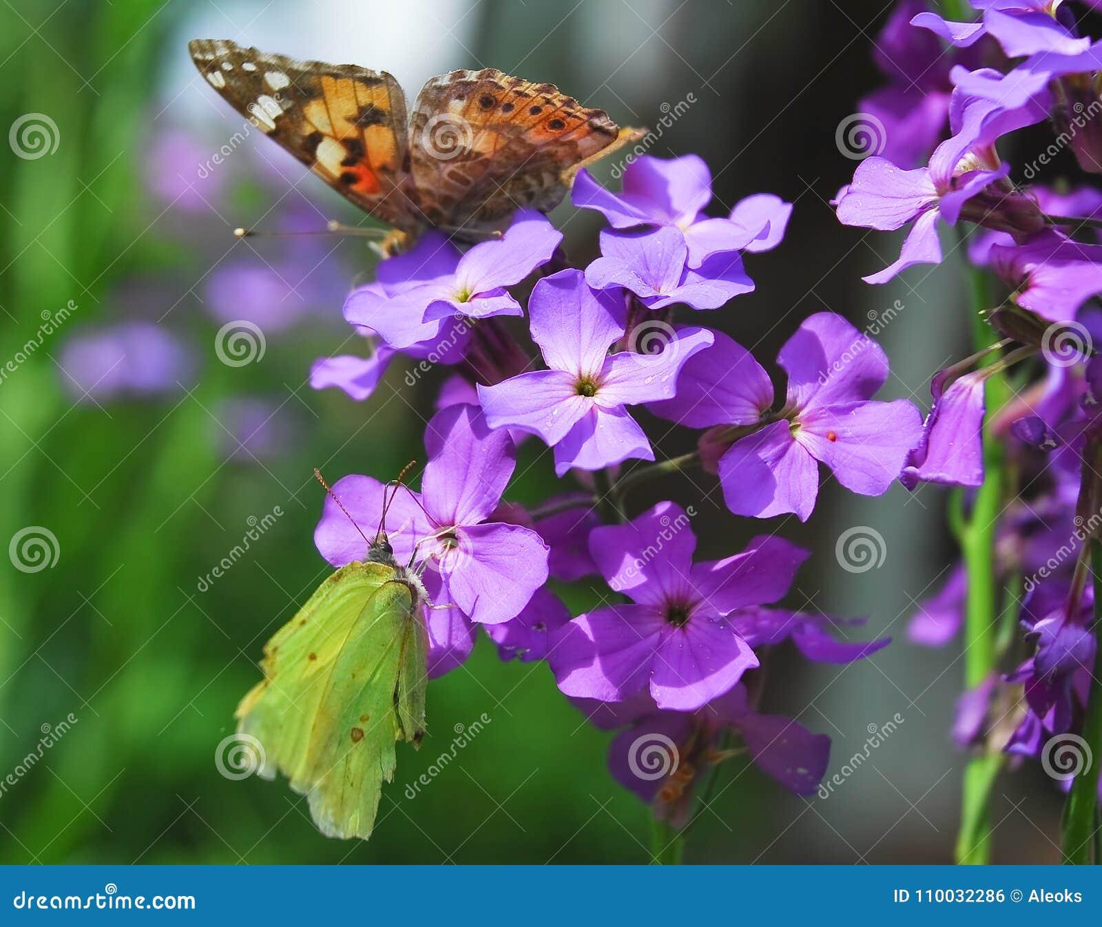 De vlinders schilderden dame en gemeenschappelijke zwavel op Purpere bloemen van Hesperis