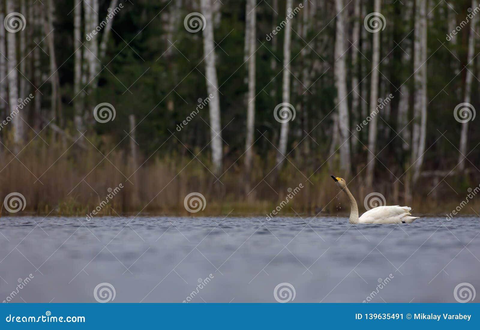 De vlotter van de Whooperzwaan en drinkt water met dalende vlekken van bek op het grote meer in toneelmening