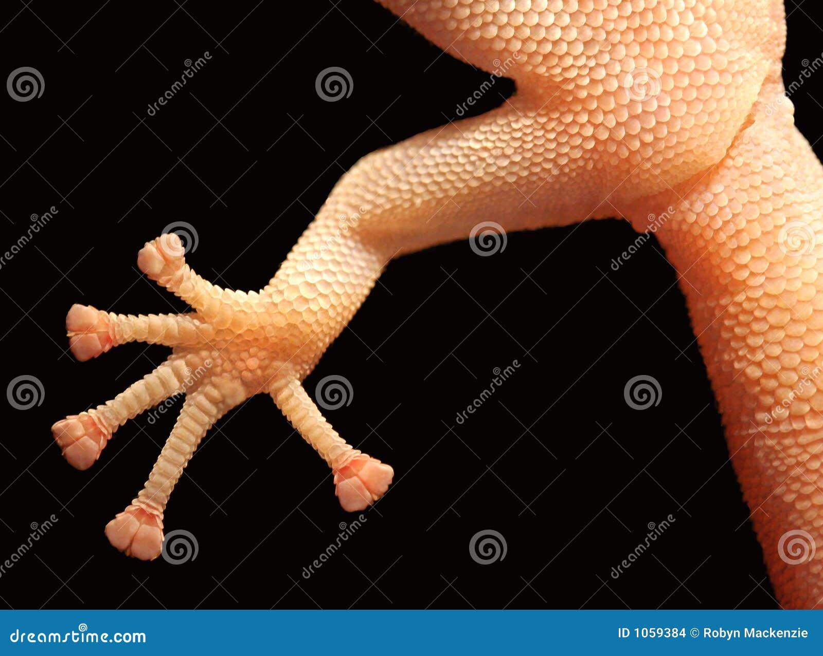 De Voet van de gekko