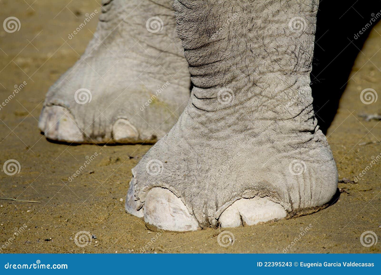 De voeten van de olifant