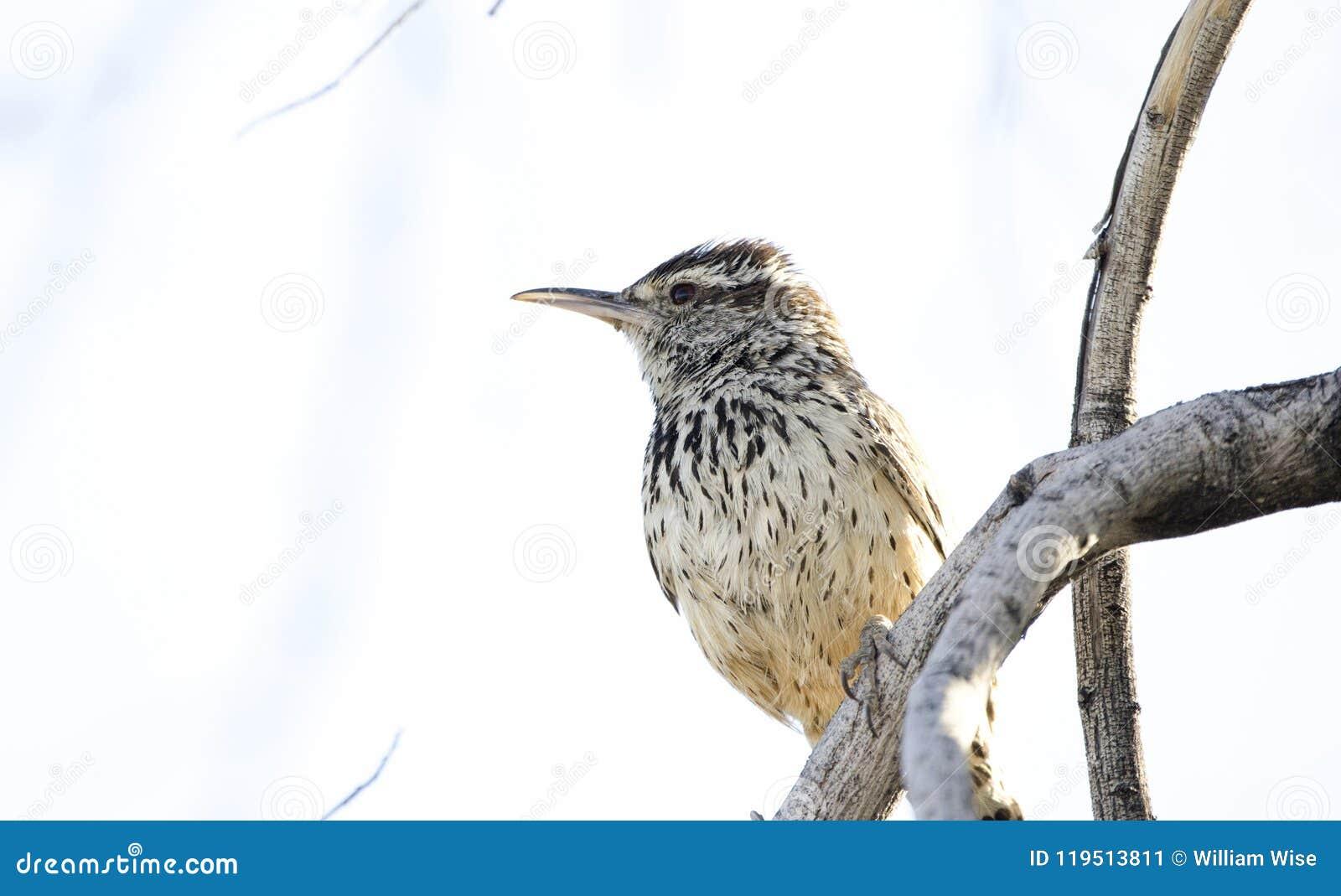 De vogel van het cactuswinterkoninkje, de Woestijn van Tucson Arizona Sonora