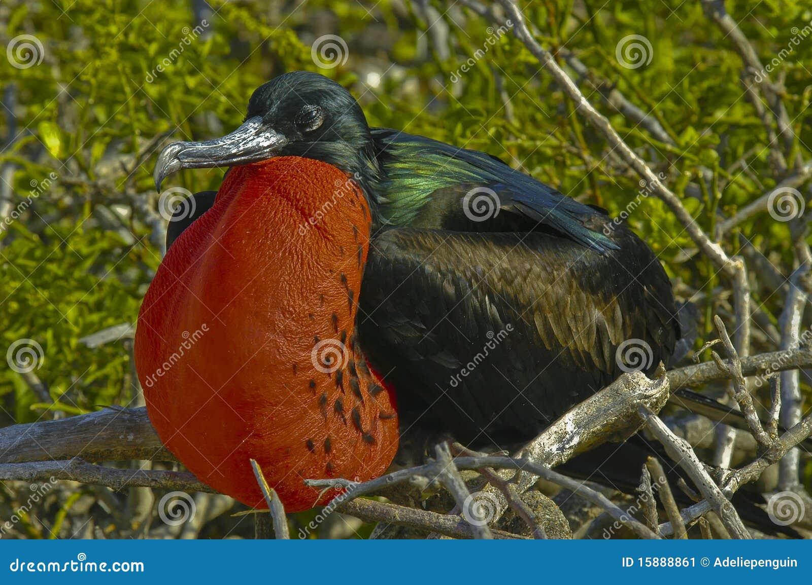 De Vogel van het fregat, de Eilanden van de Galapagos