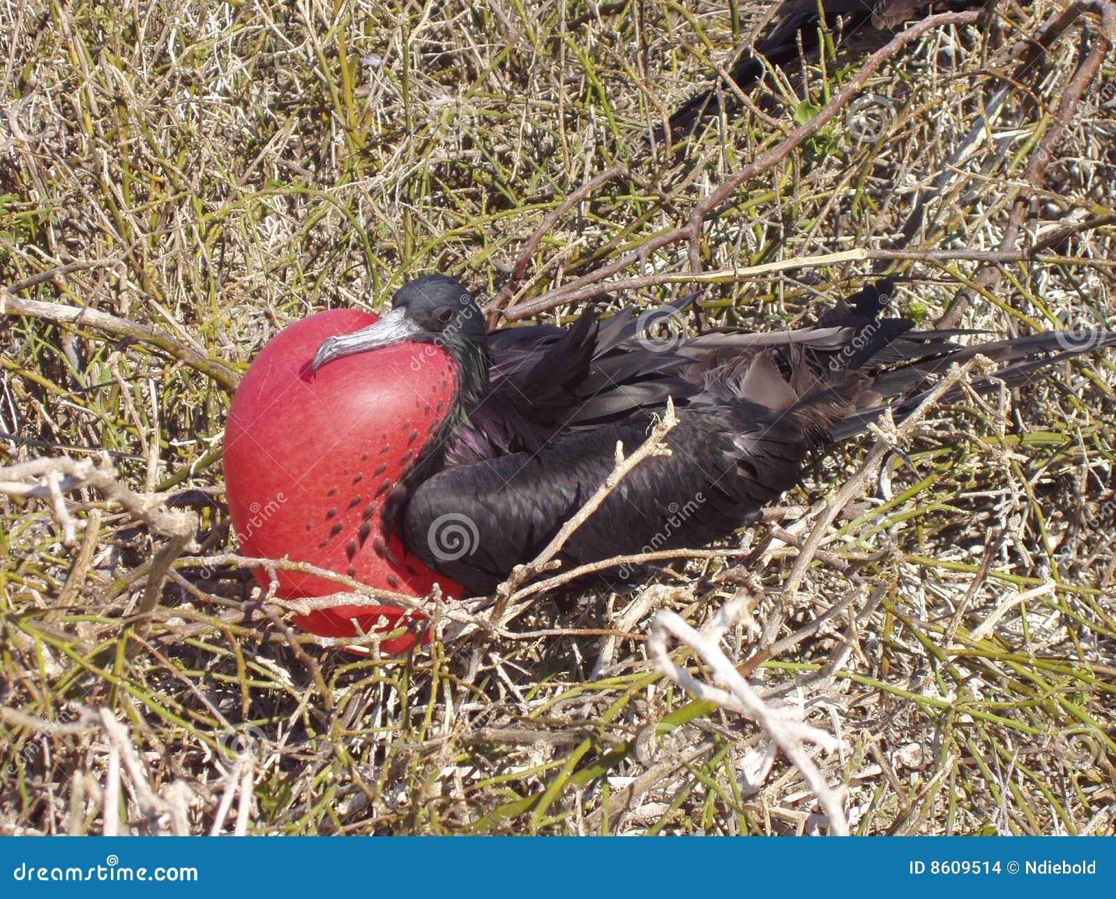 De Vogel van het fregat, de Galapagos