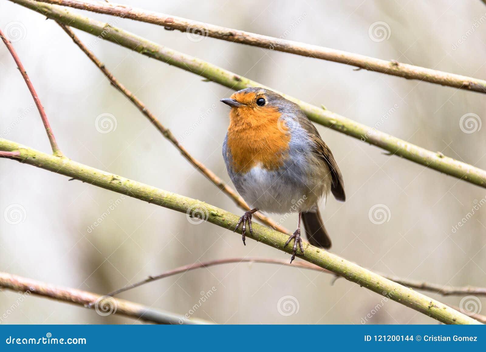 De vogel van Robin in Nottingham, het Verenigd Koninkrijk