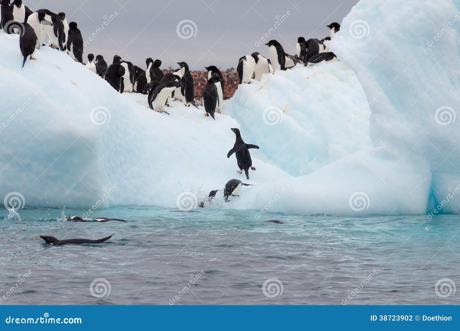 De volwassen die pinguïnen van Adele op ijsberg worden gegroepeerd