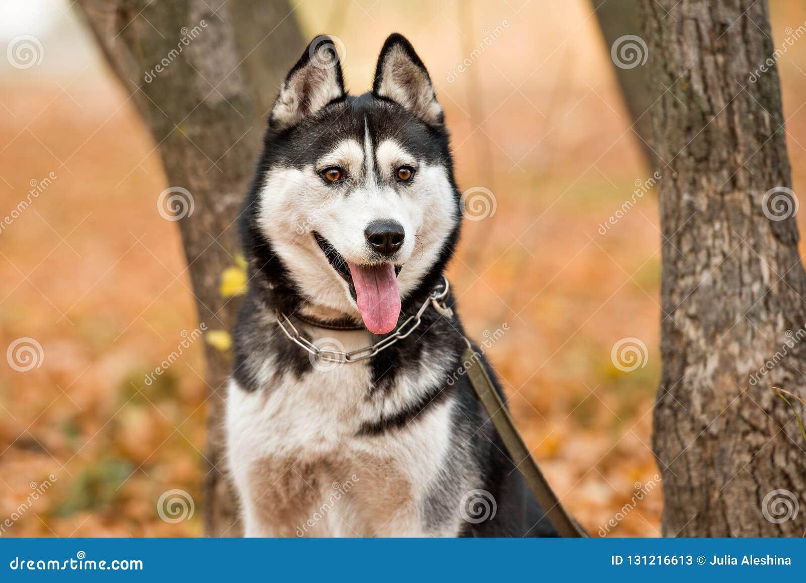 De volwassen hond Schor met bruine ogen in de herfstpark plakte uit zijn ton