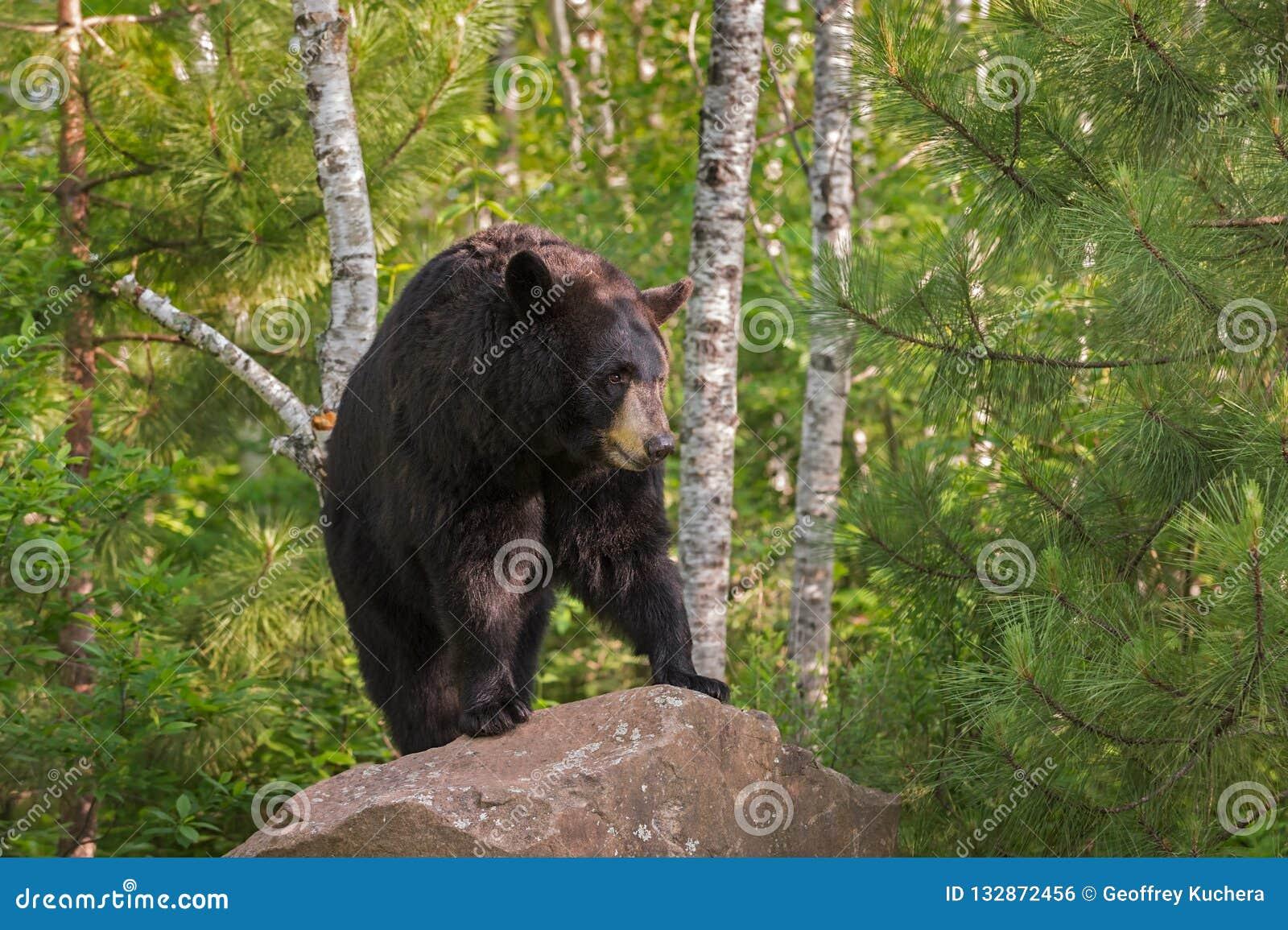 De volwassen Vrouwelijke Zwarte draagt de americanus Tribunes van Ursus op Rots Lookin
