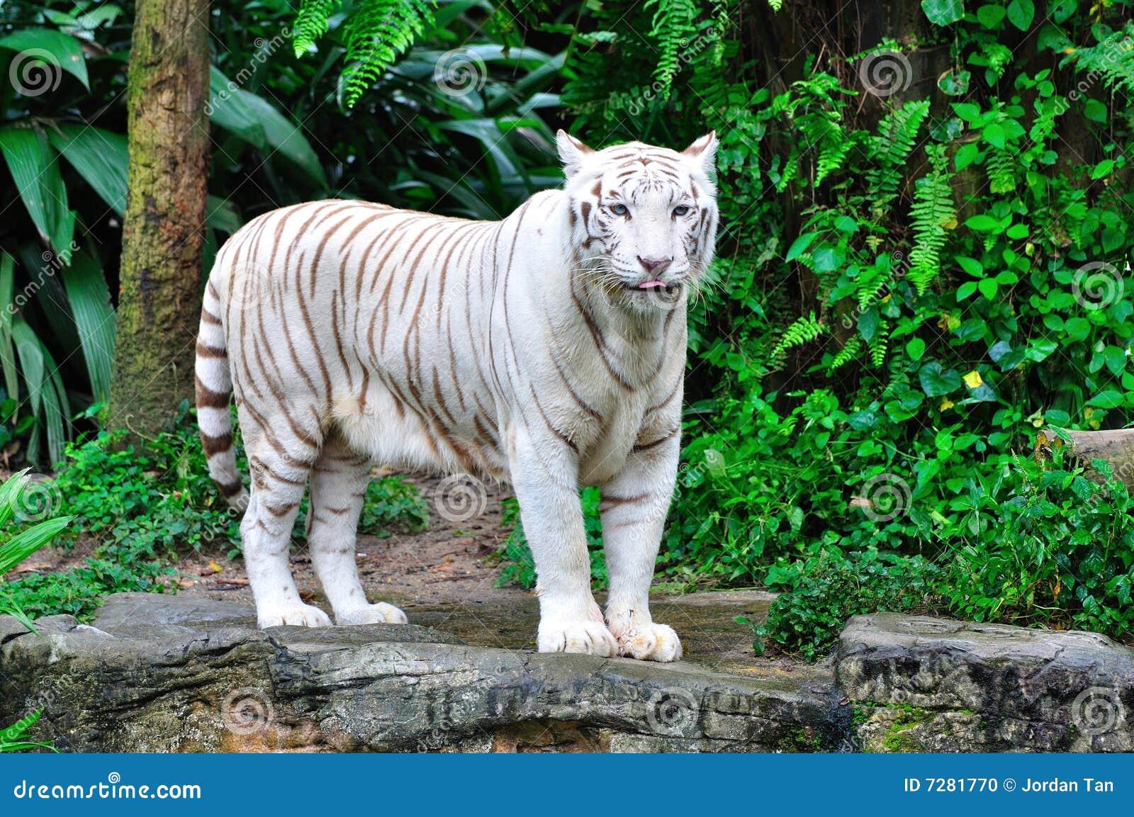 De volwassen Witte Tijger van Bengalen