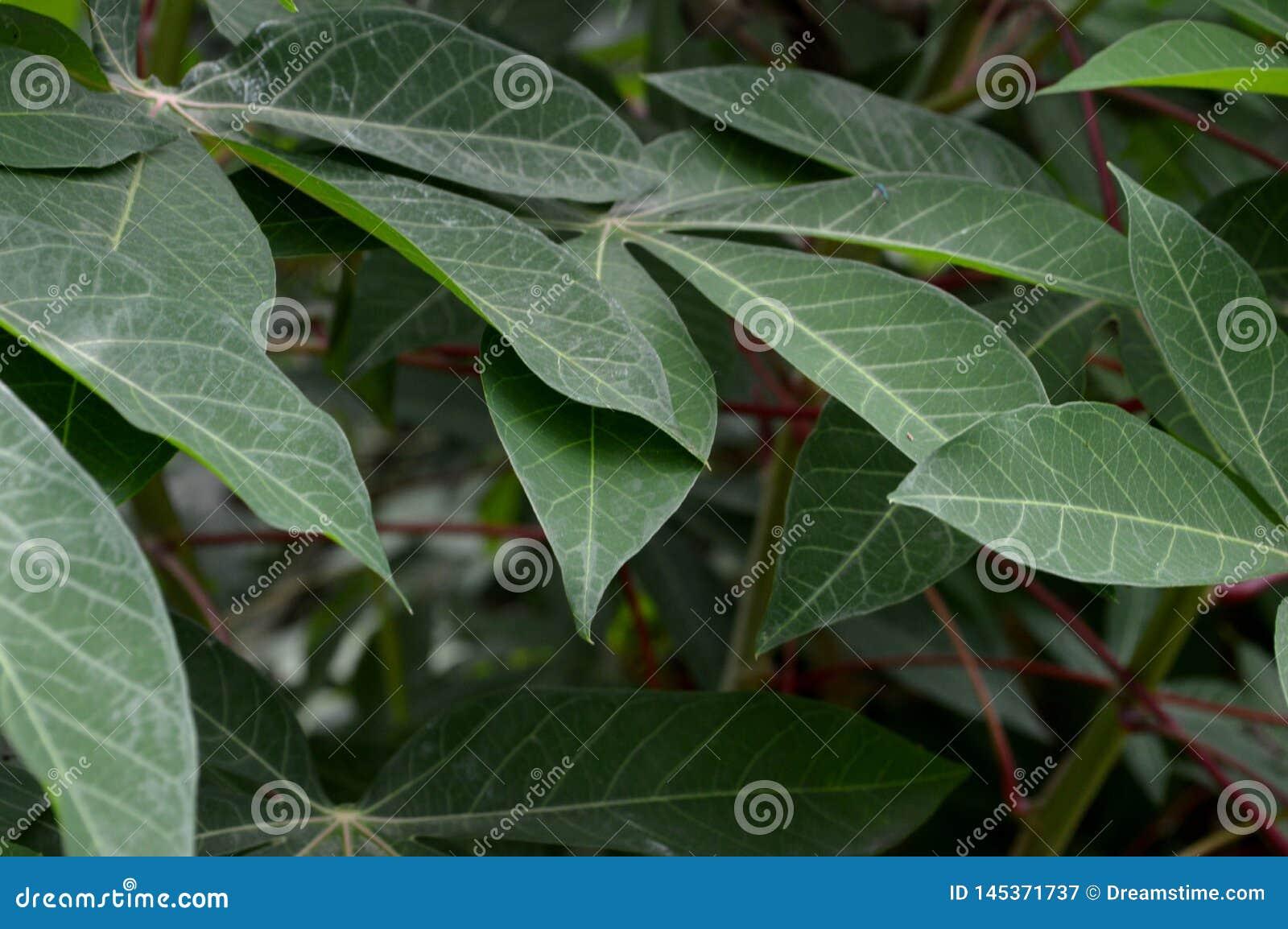 De vorm en de textuur van tropische groene bladeren