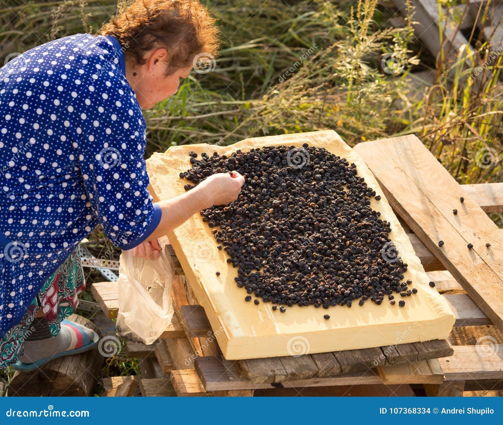De vrouw droogt bessen van de tuin