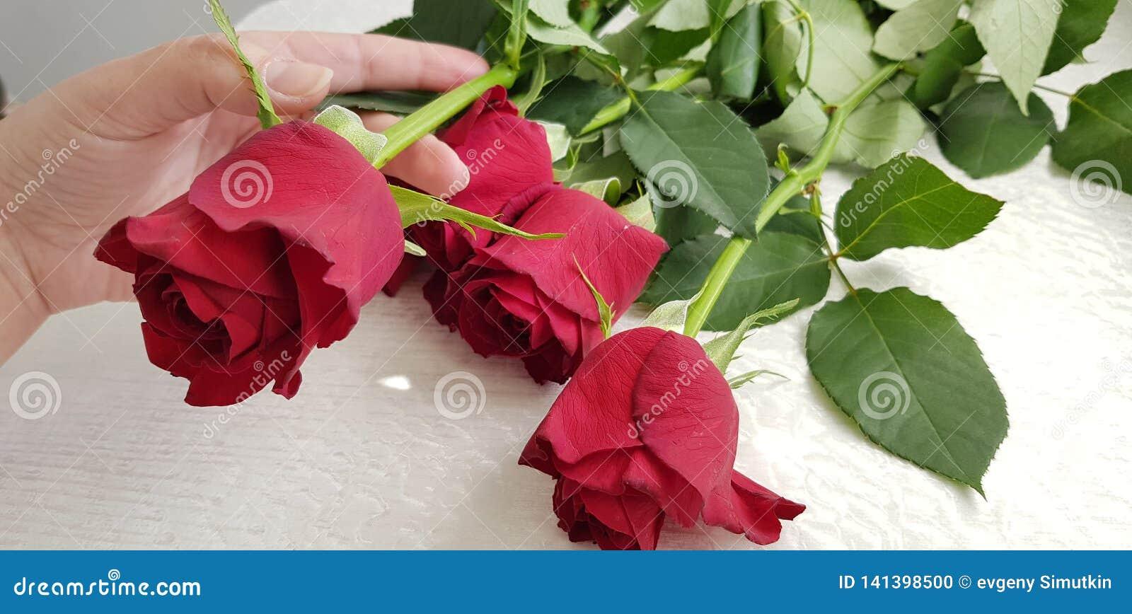 De vrouwelijke hand houdt één bloem van boeket van vijf rode rozen