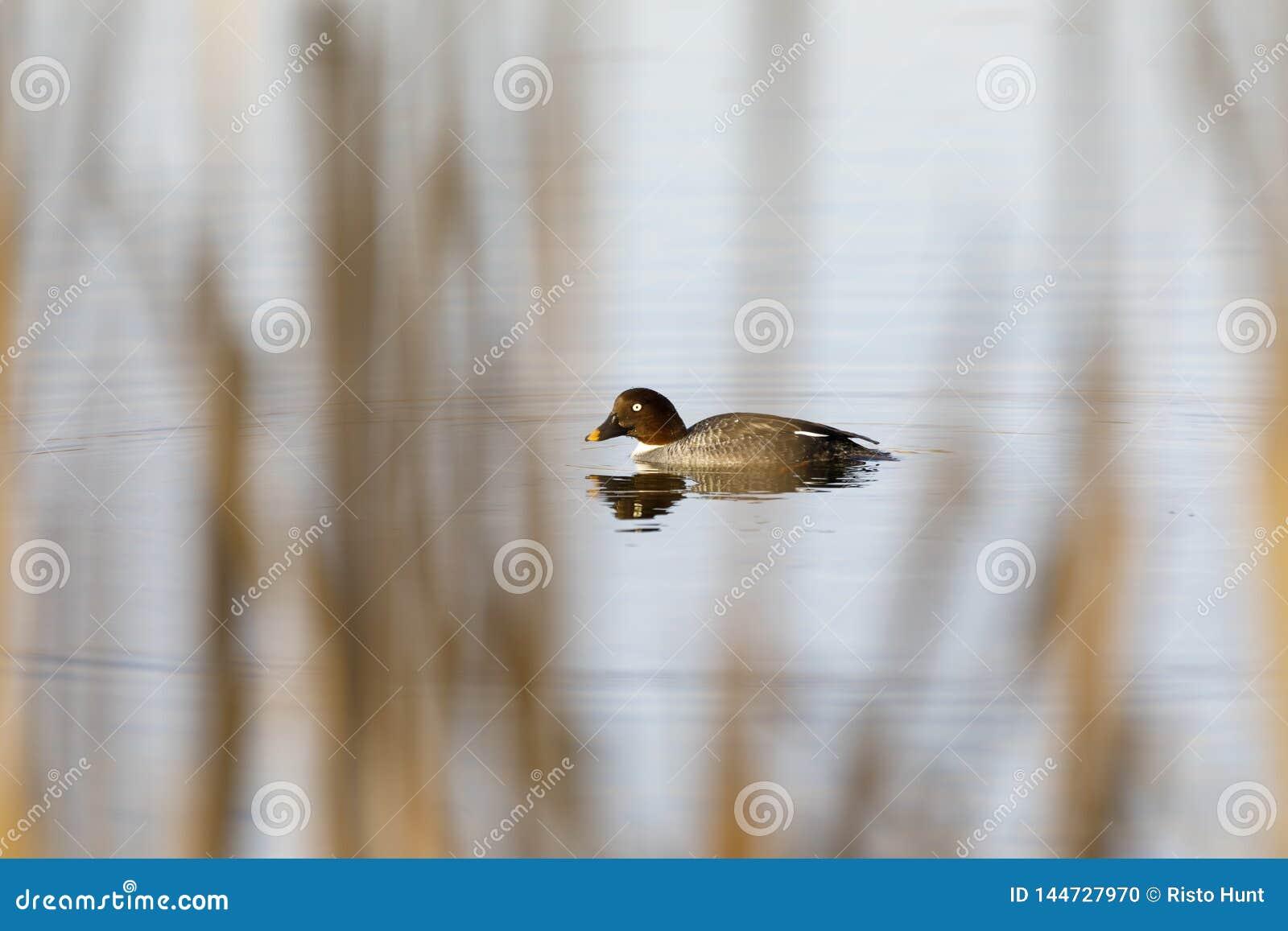 De vrouwelijke Kruiwagen goldeneye zwemt in een meer