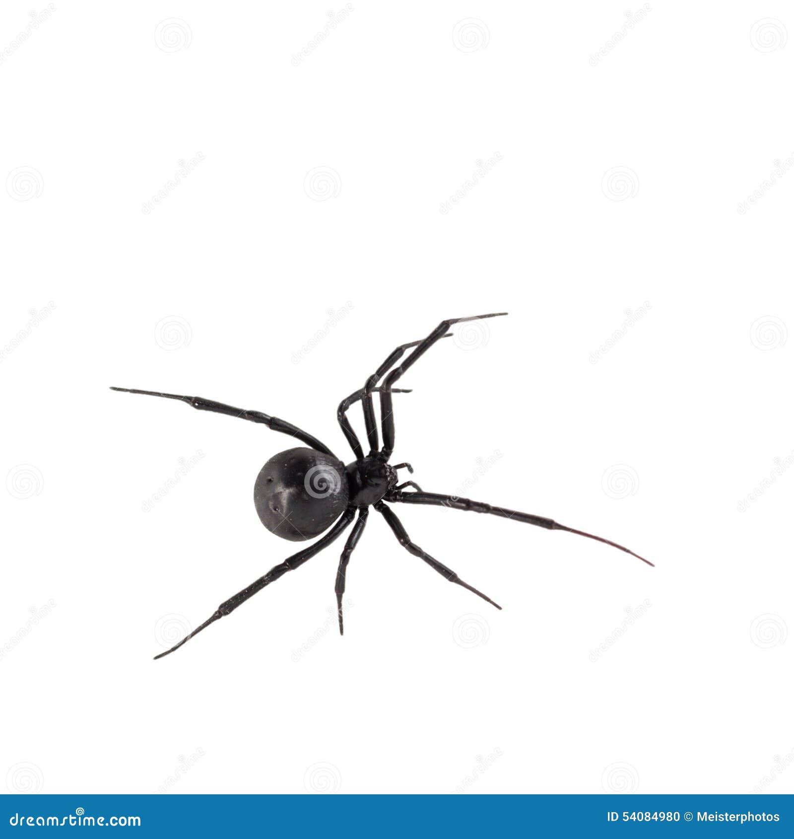 De vrouwelijke spin van de Zwarte weduwe