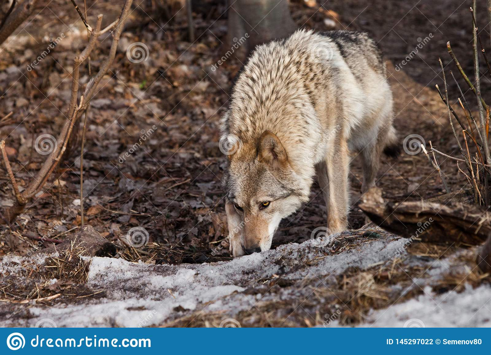 de vrouwelijke wolf snuift sporen de jacht in de de