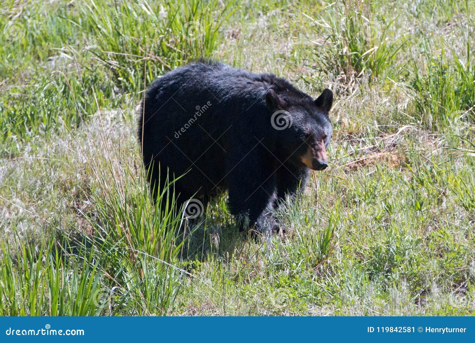 De vrouwelijke Zeug Amerikaanse Zwarte draagt [americanus Ursus] dichtbij Roosevelt Lodge in het Nationale Park van Yellowstone i