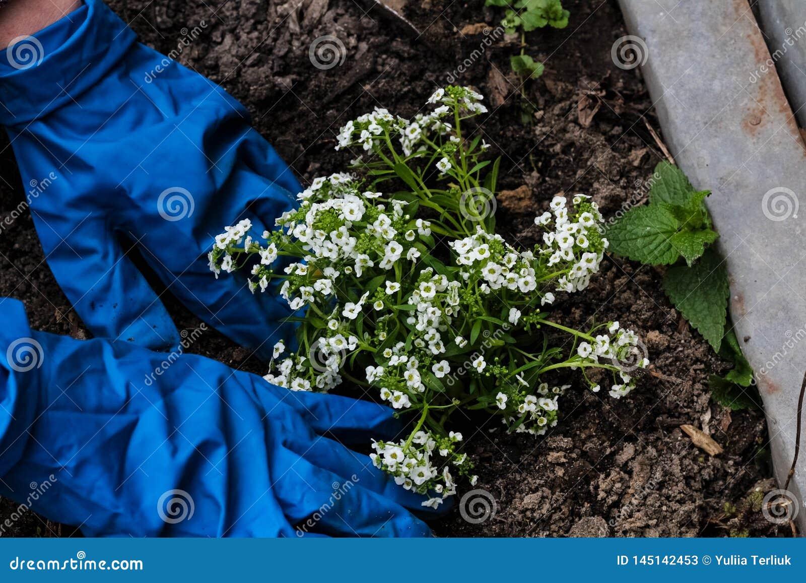 De vrouwenhanden die een wit planten bloeit installatie in de tuin Het tuinieren het werk in de lentetijd