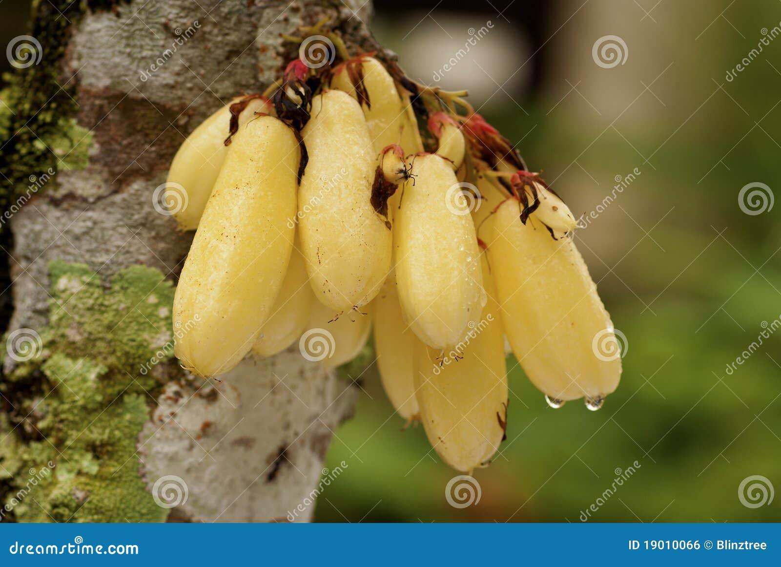 De Vruchten van Belimbing - bilimbi Averrhoa