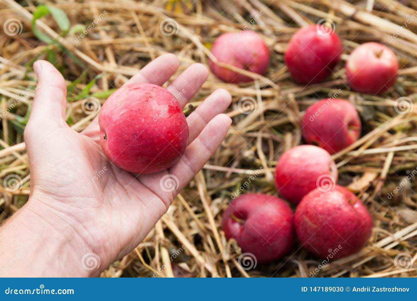 De vruchten van de de herfstaard oogst in boomgaard, verse groenteappelen