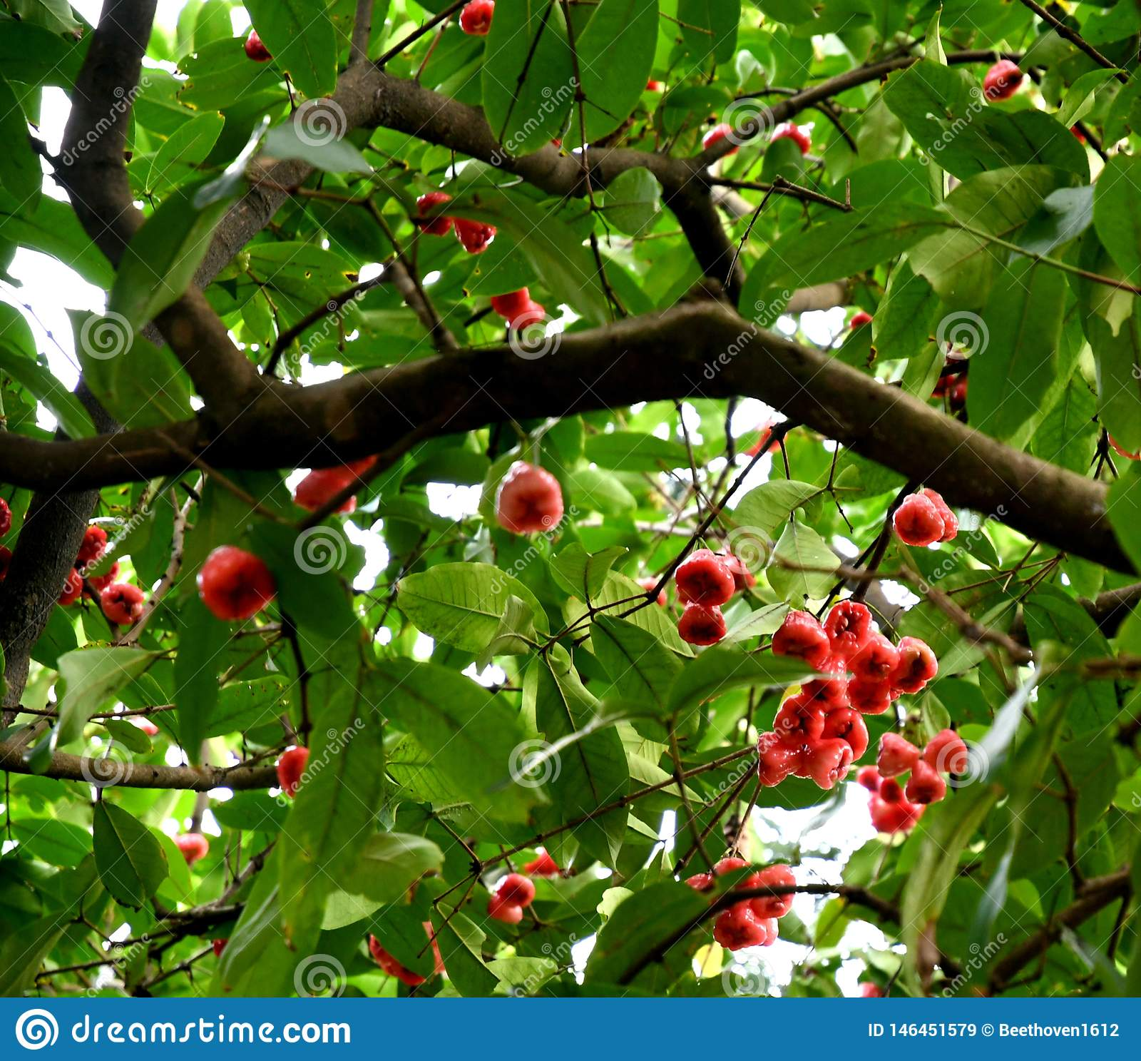 De Vruchten van wasapple op Boom