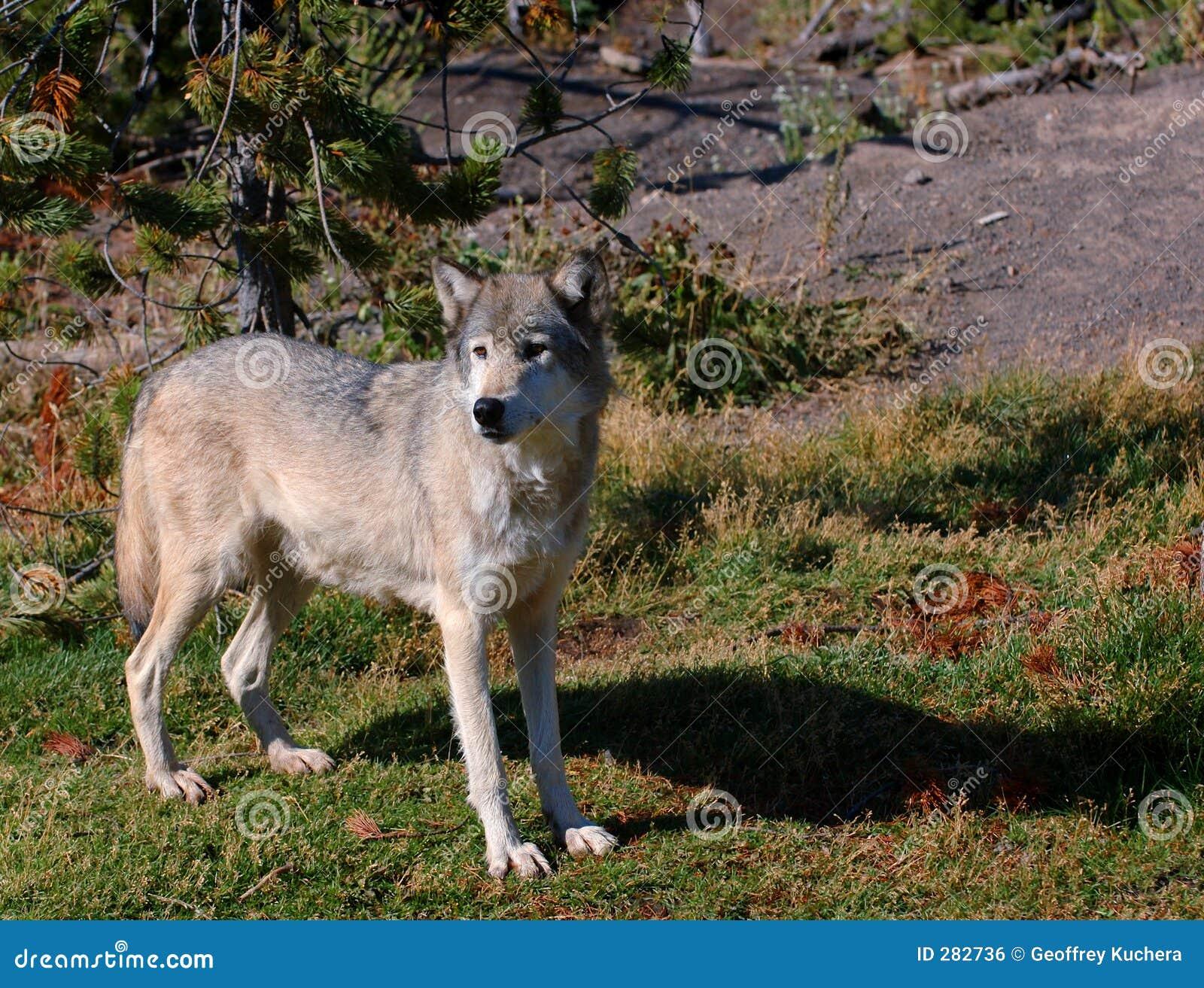 De waakzame Wolf van het Hout