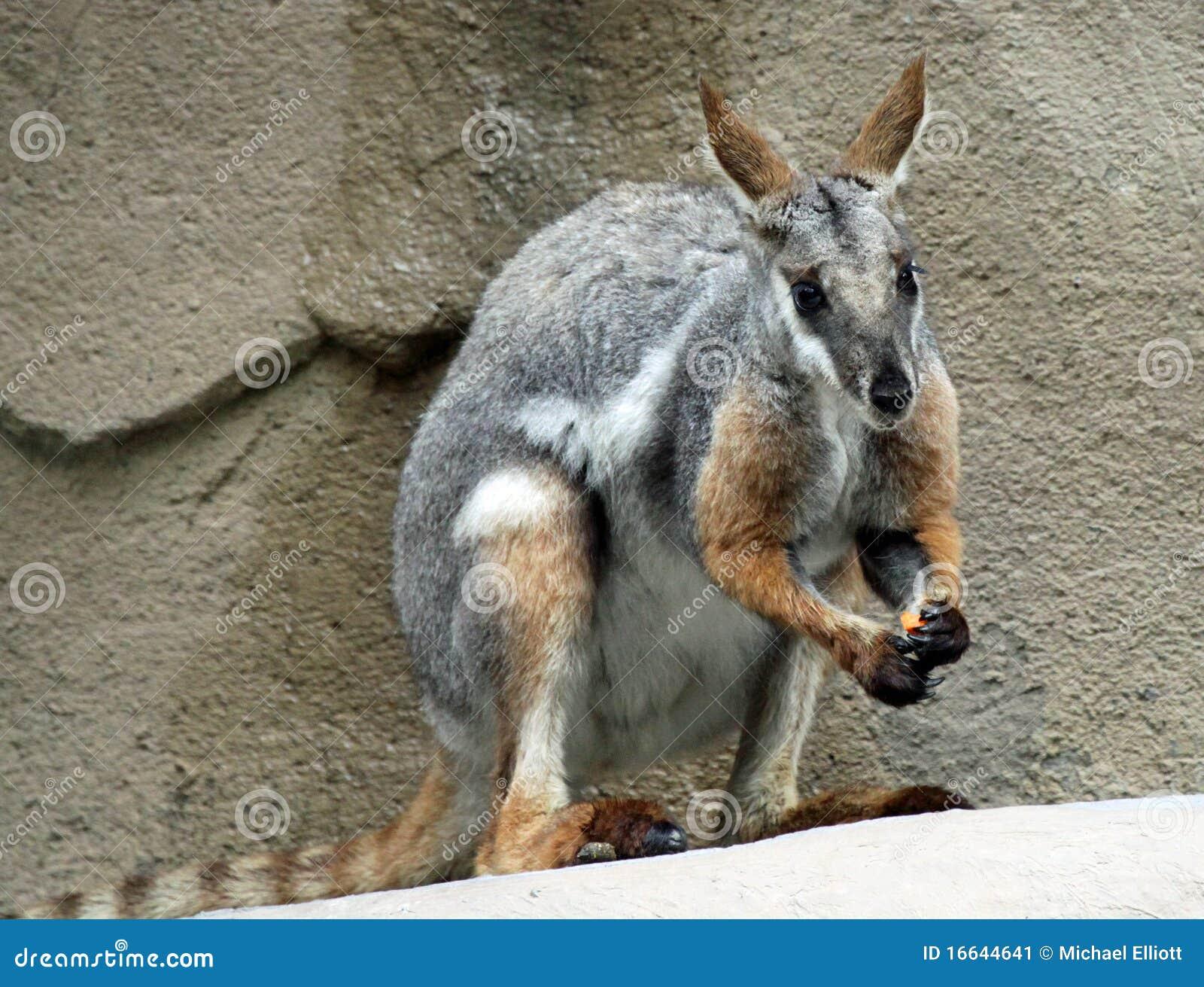 De Wallaby van de rots
