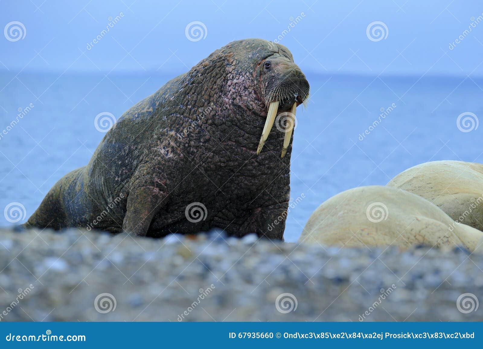 De walrus, Odobenus-rosmarus, stok uit van blauw water op kiezelsteenstrand, Svalbard, Noorwegen