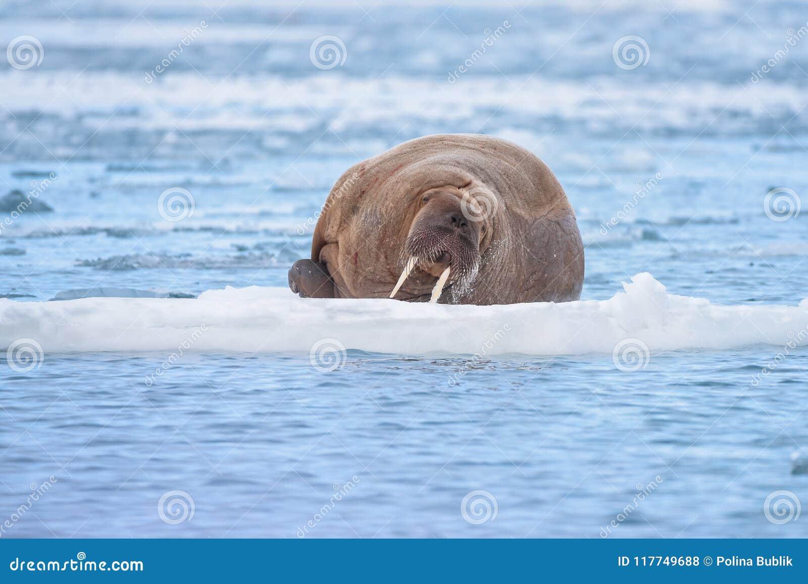 De walrus van de landschapsaard op een ijsijsschol van dag van de de winterzonneschijn van Spitsbergen Longyearbyen Svalbard de n