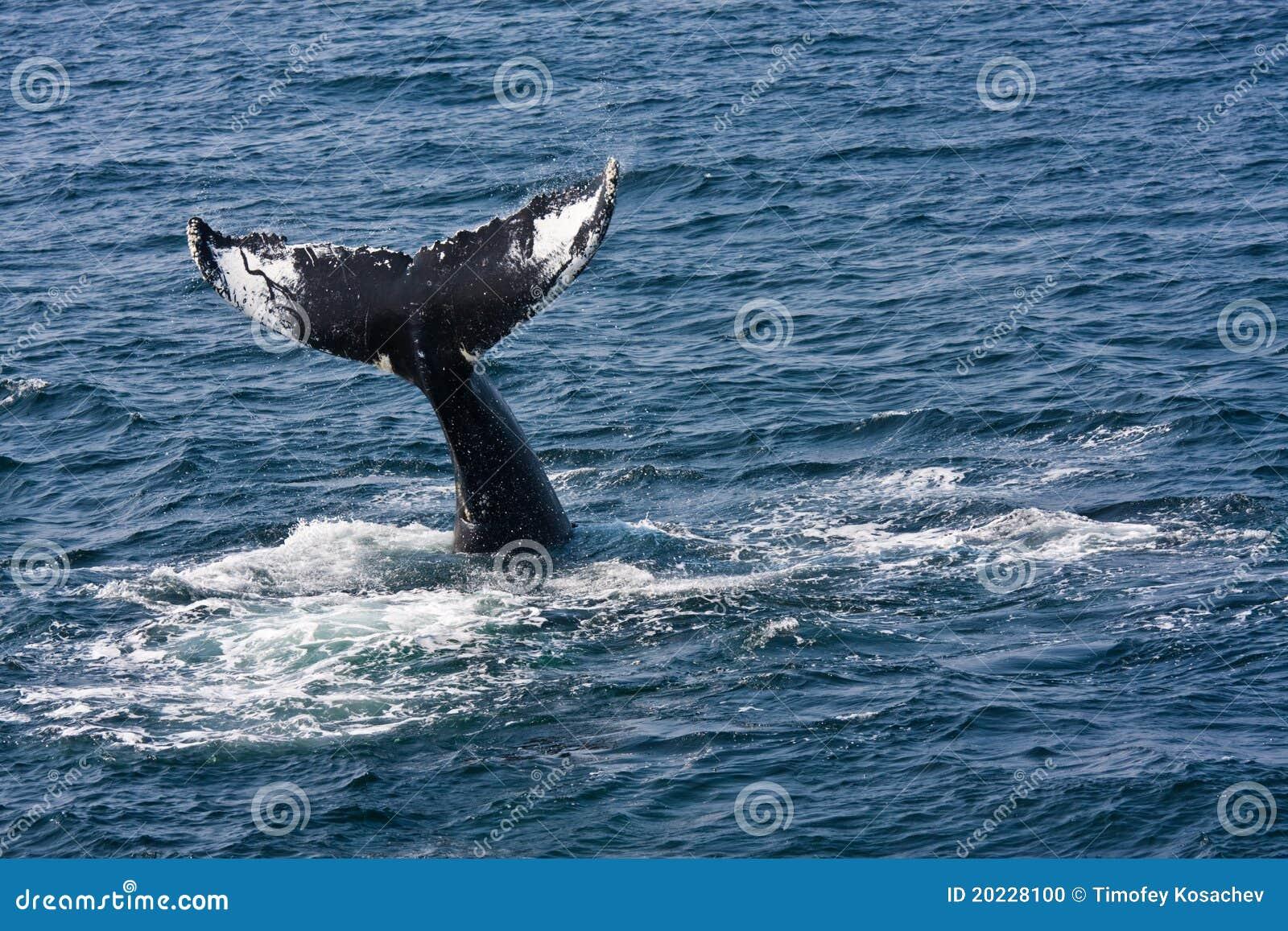 De walvis van de gebochelde