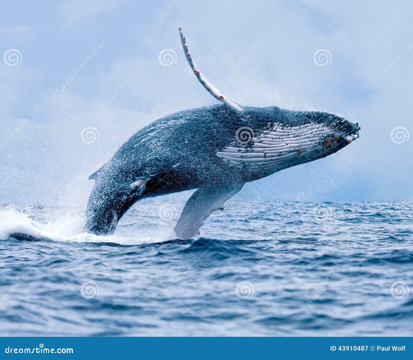 De walvis van de gebochelde het overtreden