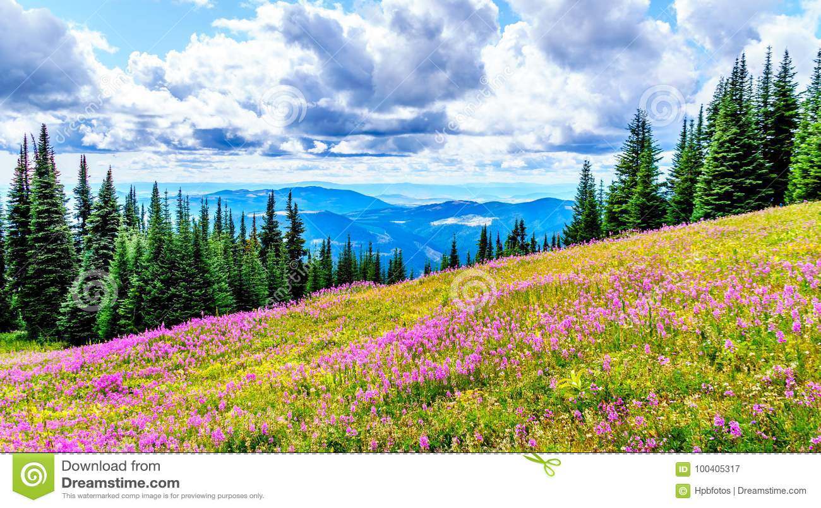 De wandeling door alpiene weiden behandelde in roze wilgeroosjewildflowers in hoge alpien