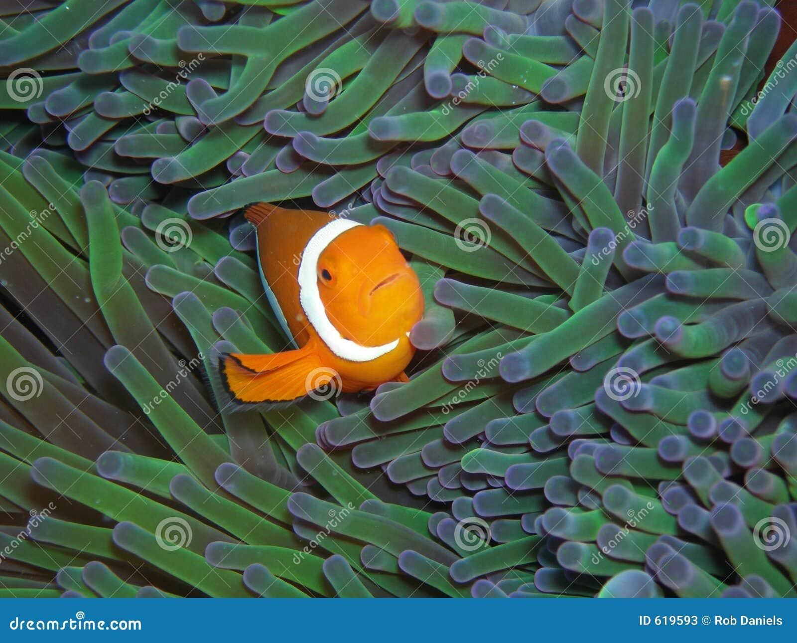 De Ware Clown Anemonefish van Nemo