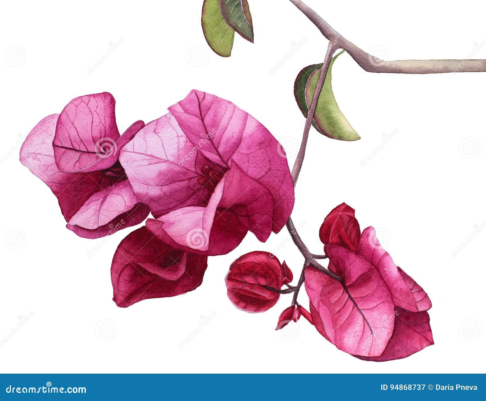De waterverf bloeit Roze Bougainvillea