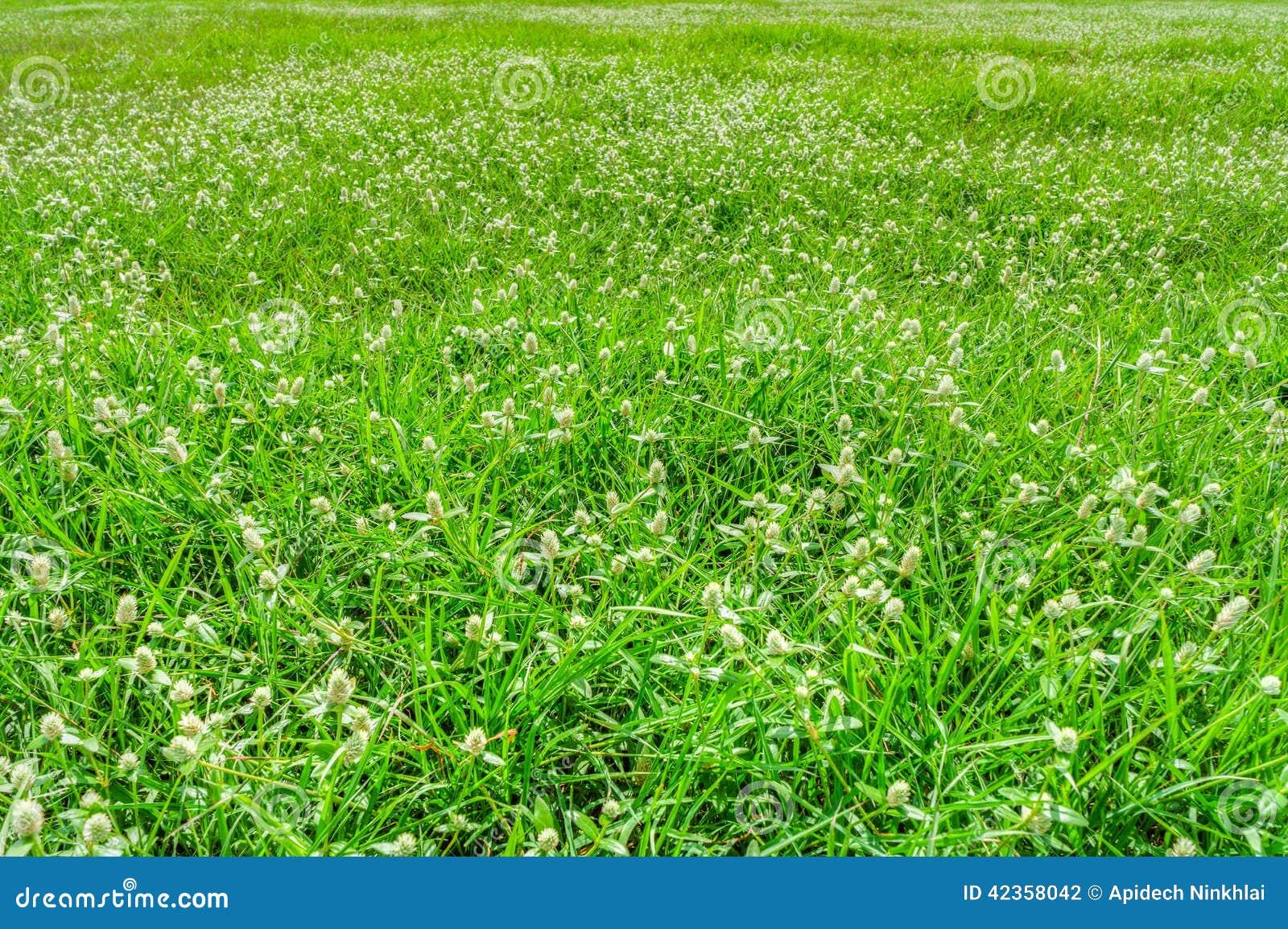 De weide van Poaceae