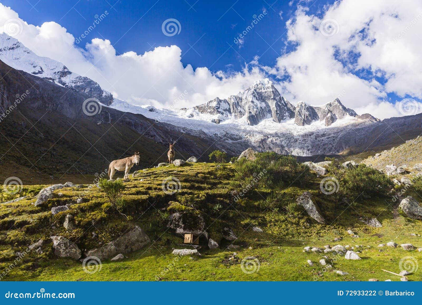 De weiden, de muilezels en de sneeuw caped bergen in het Nationale Park van Huascaran