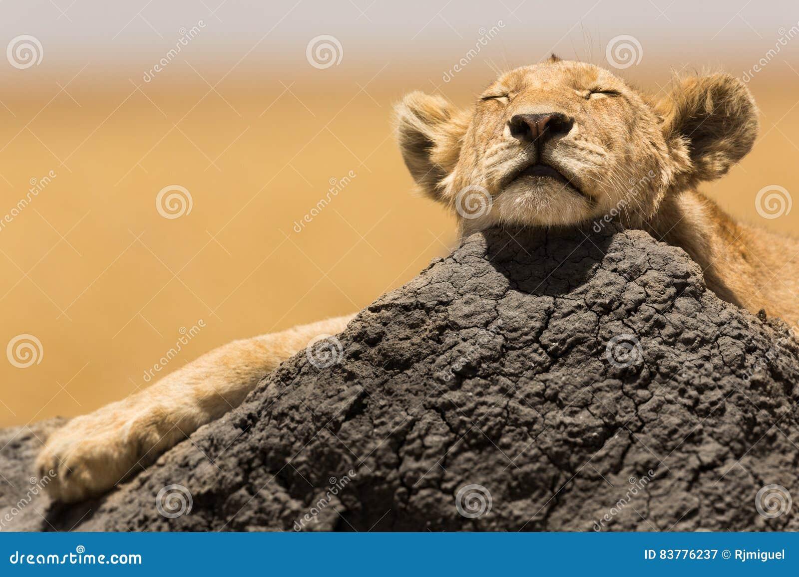 De welp van de leeuw het rusten