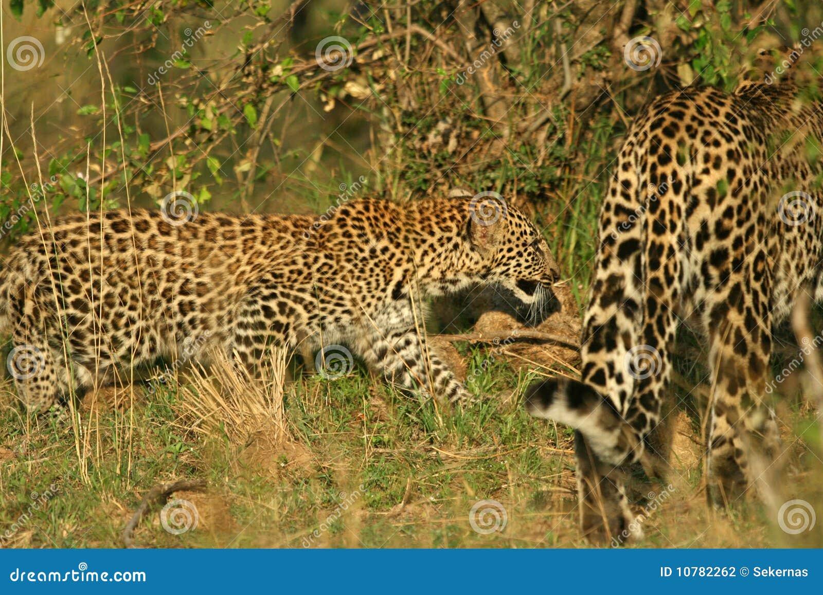 De welp van de luipaard