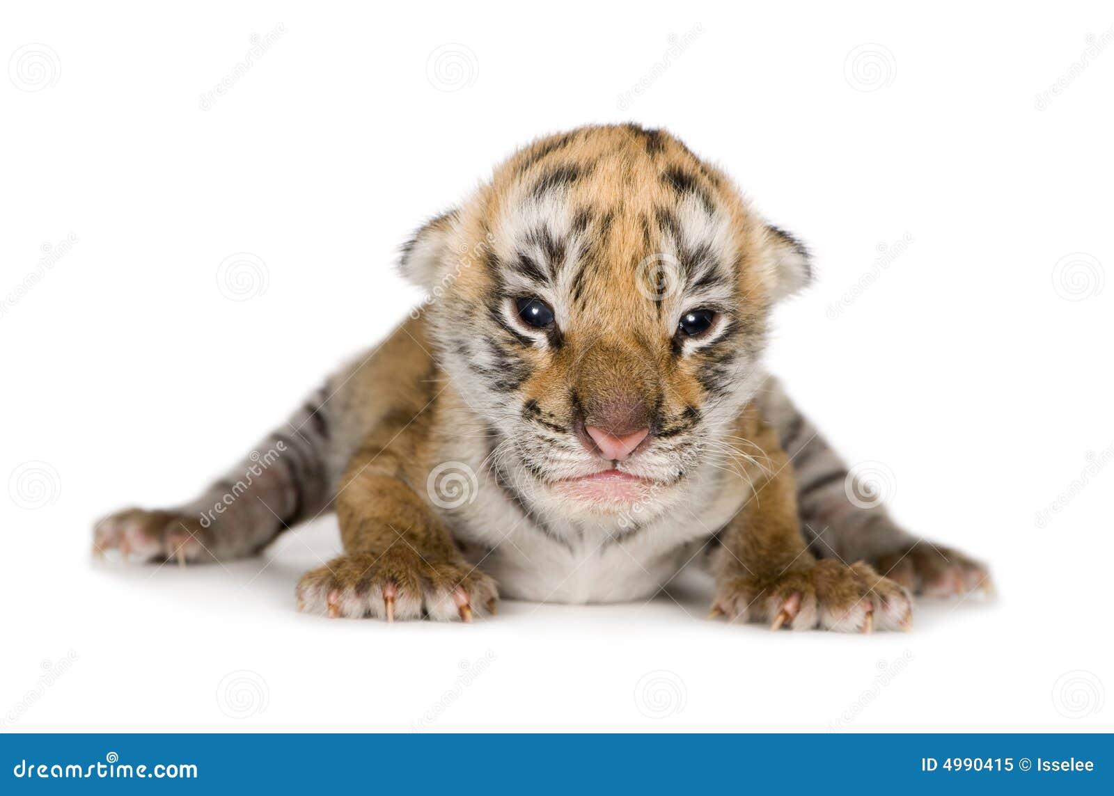 De welp van de tijger (4 dagen)