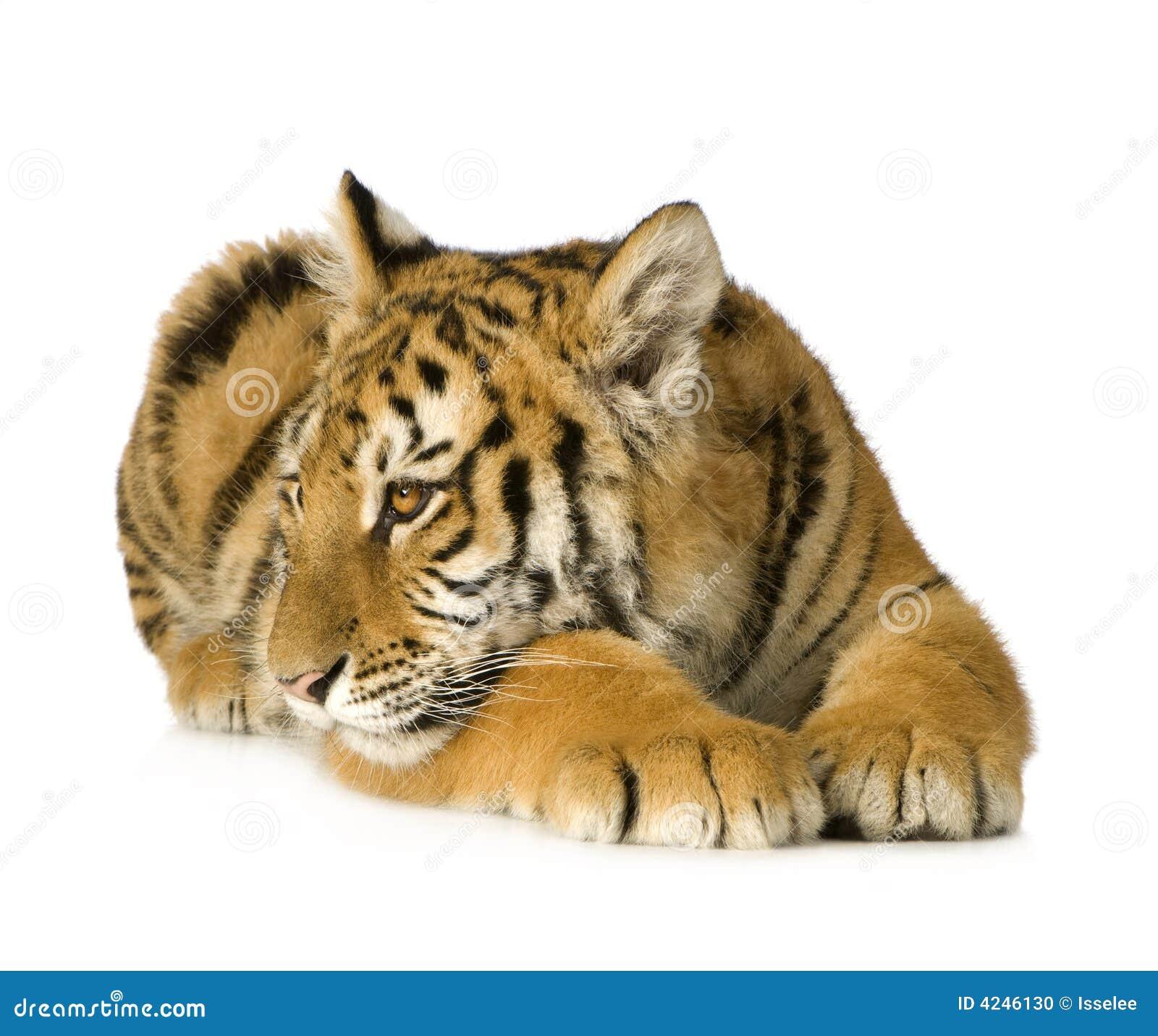 De welp van de tijger (5 maanden)