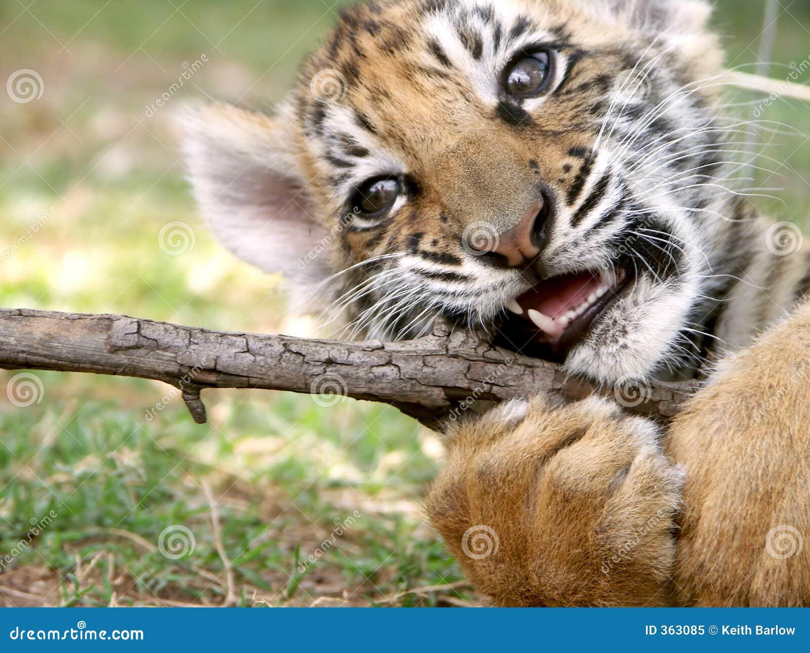 De welp van de tijger bij spel