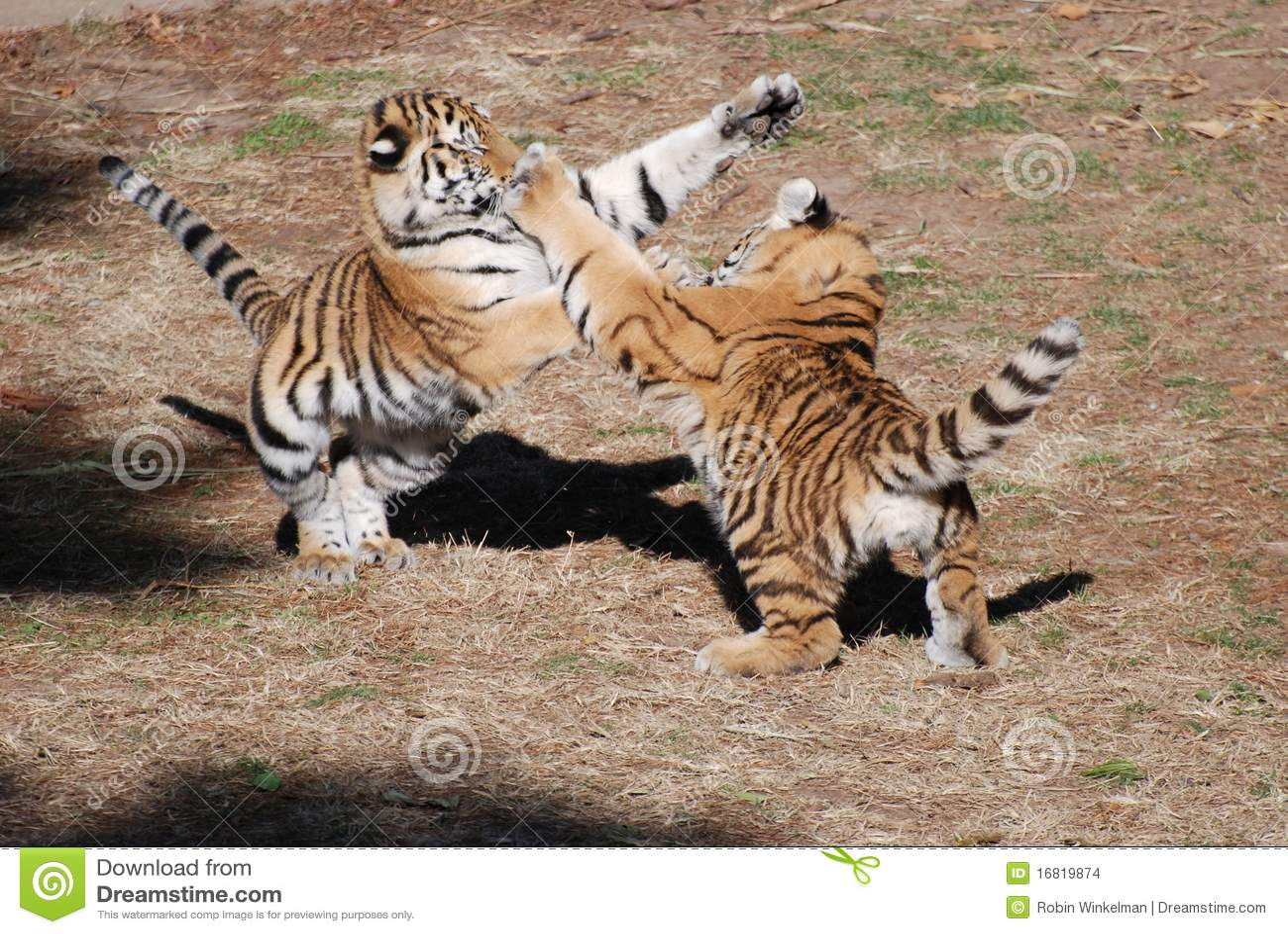 De welpen van de tijger bij spel