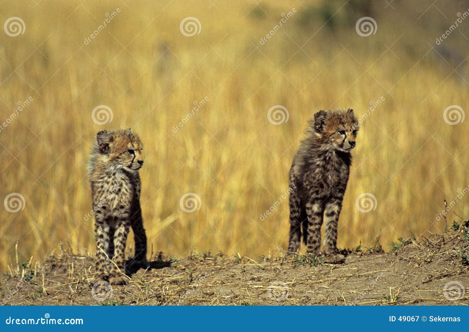 De welppaar van de jachtluipaard