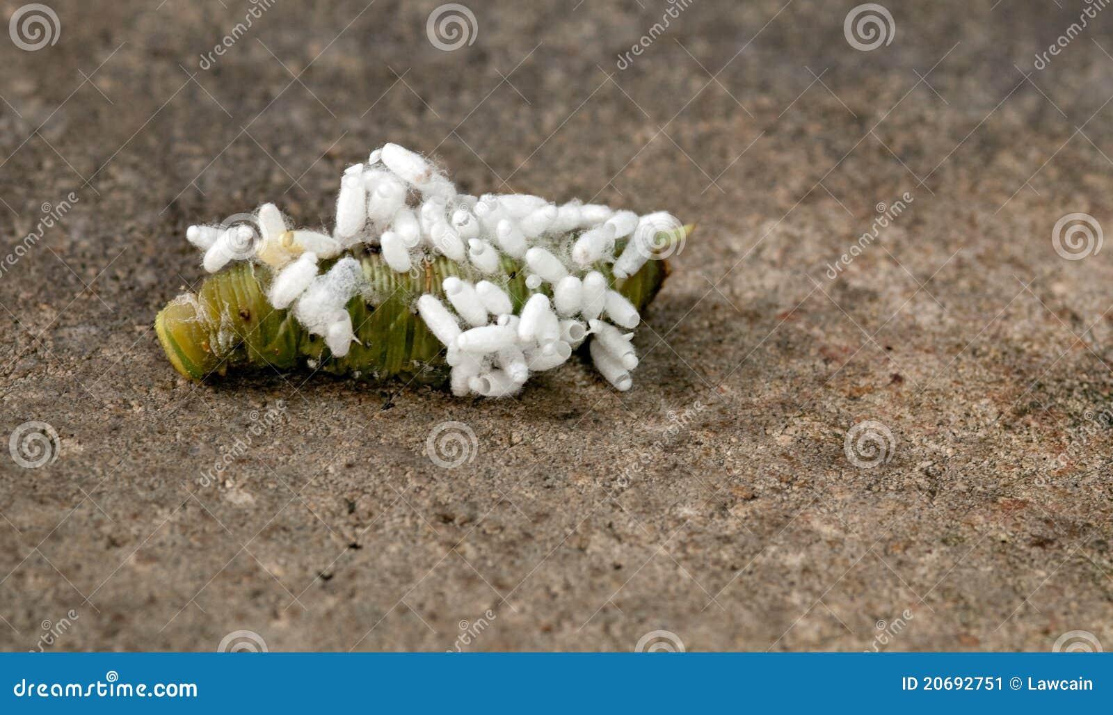 De Wesp van Braconid op Tomaat Hornworm