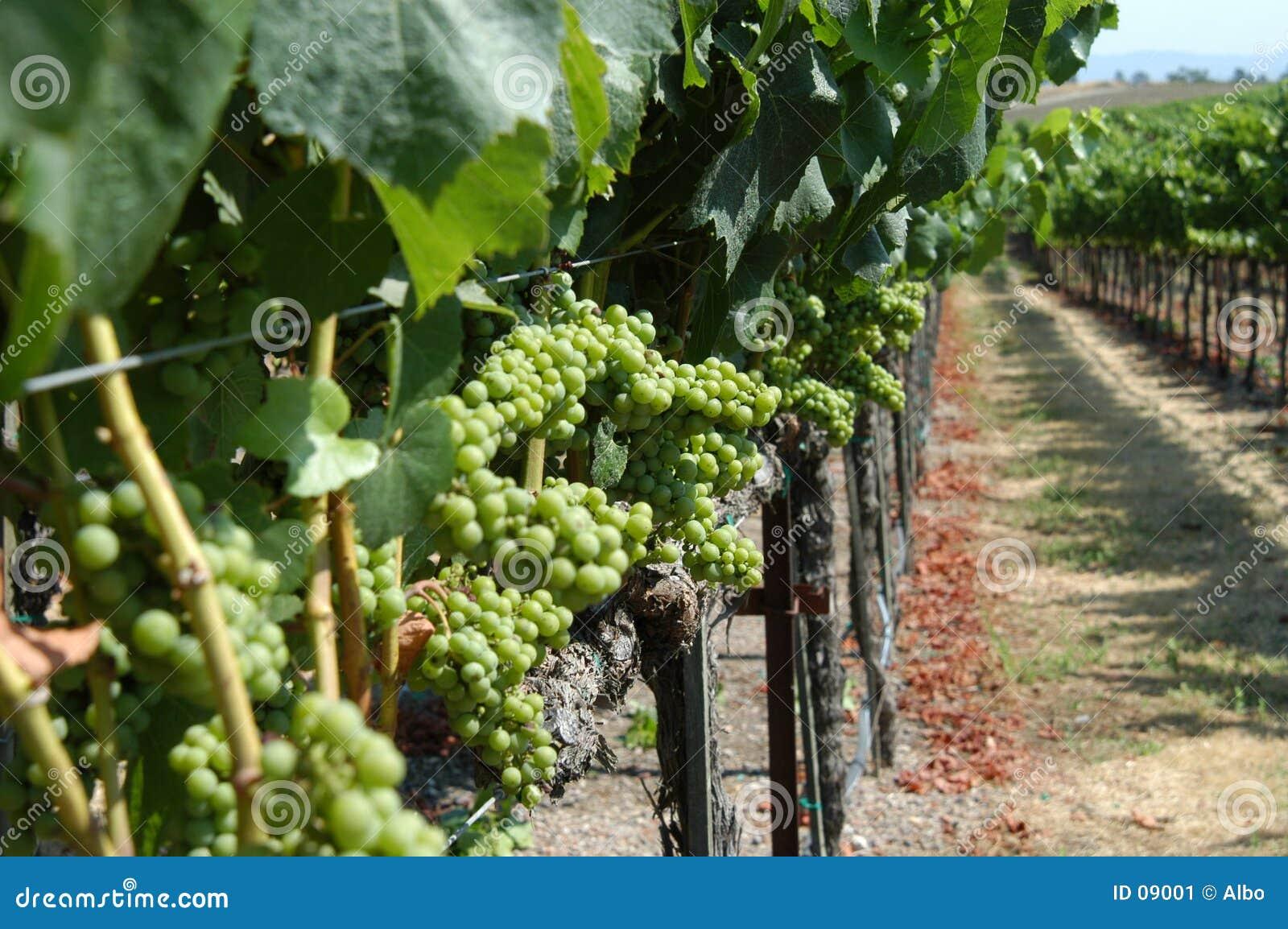 De wijngaard van Californië